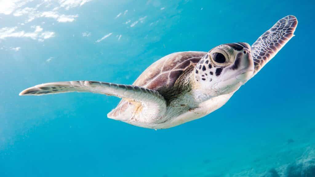 a beautiful sea turtle